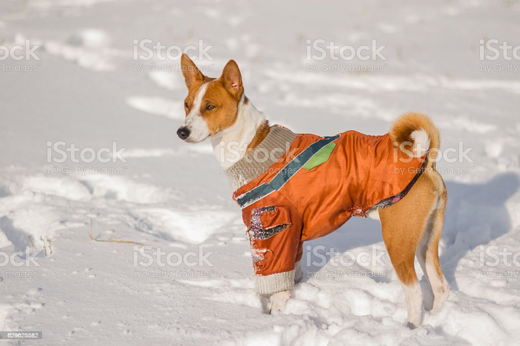 Outdoor portrait of cute basenji dog stock photo