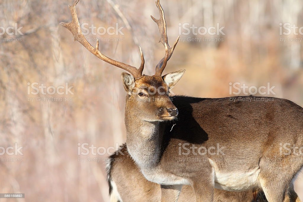 outdoor portrait of fallow deer buck stock photo
