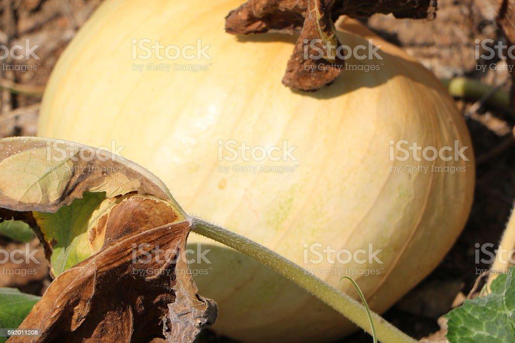 Outdoor pumpkin stock photo