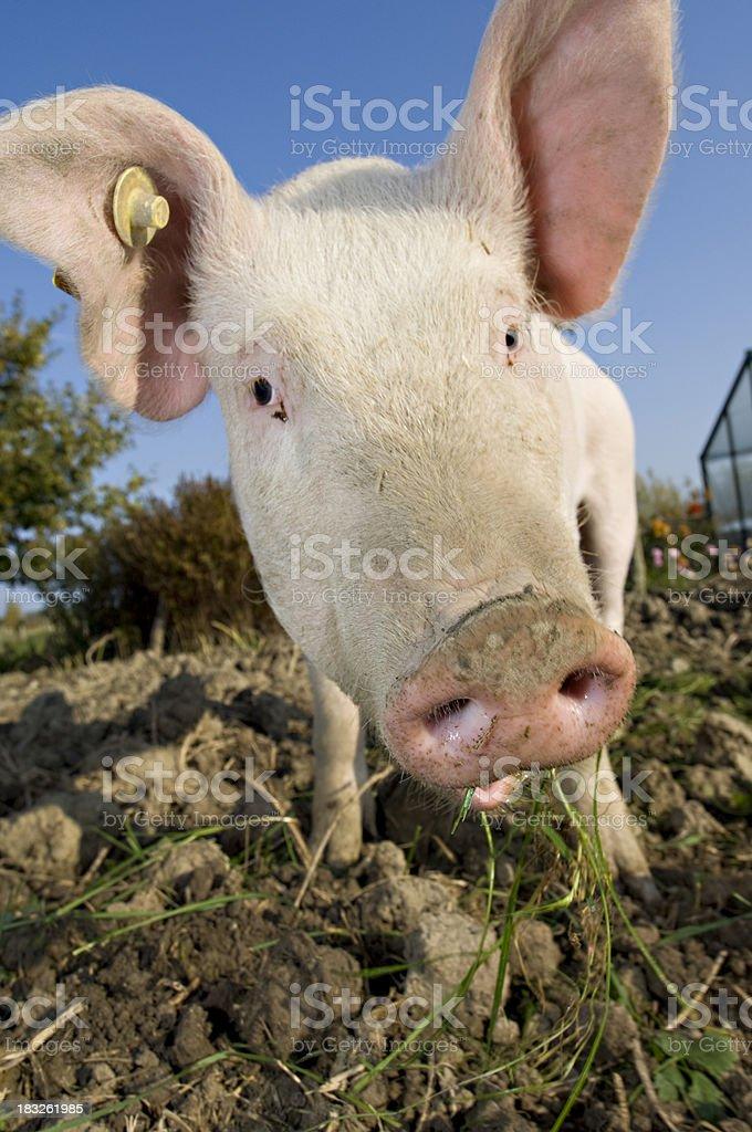 Outdoor Raised Pig Happily Wandering Around His Pigpen stock photo