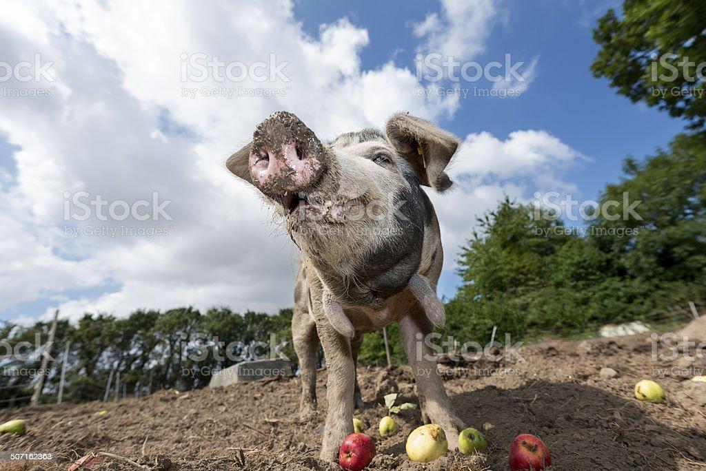 Outdoor Reared Danish Landrace Pig stock photo
