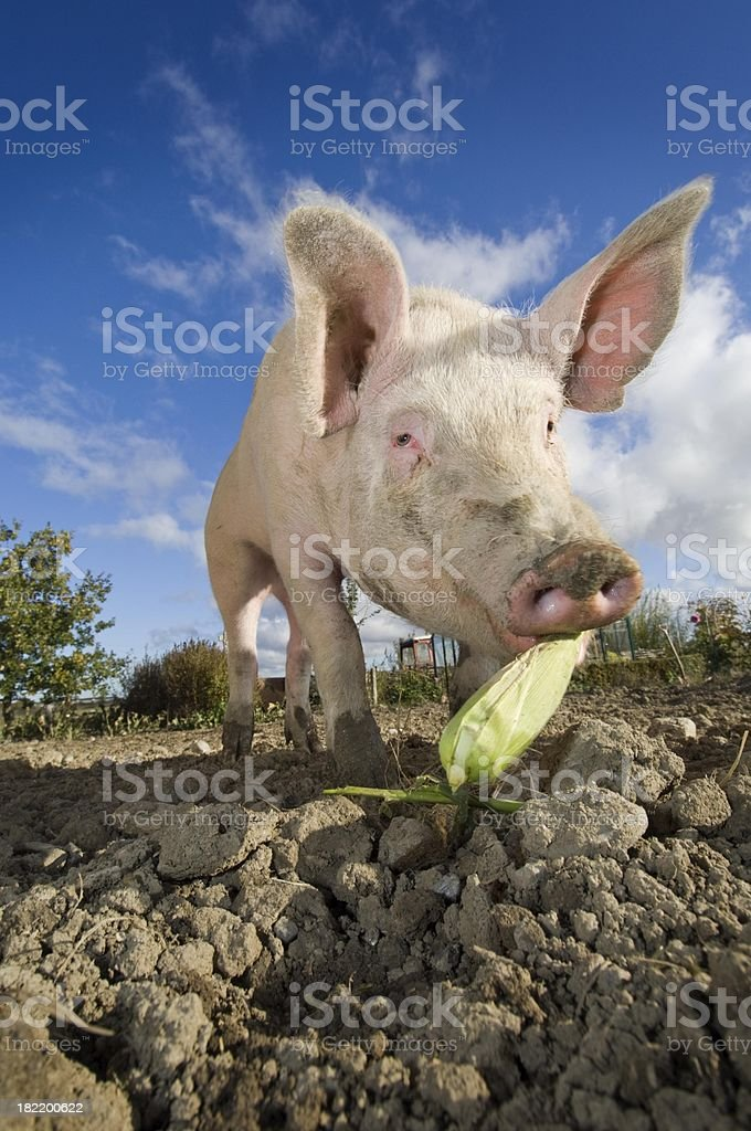 Outdoor Reared Pig Against a Blue Sky Background stock photo