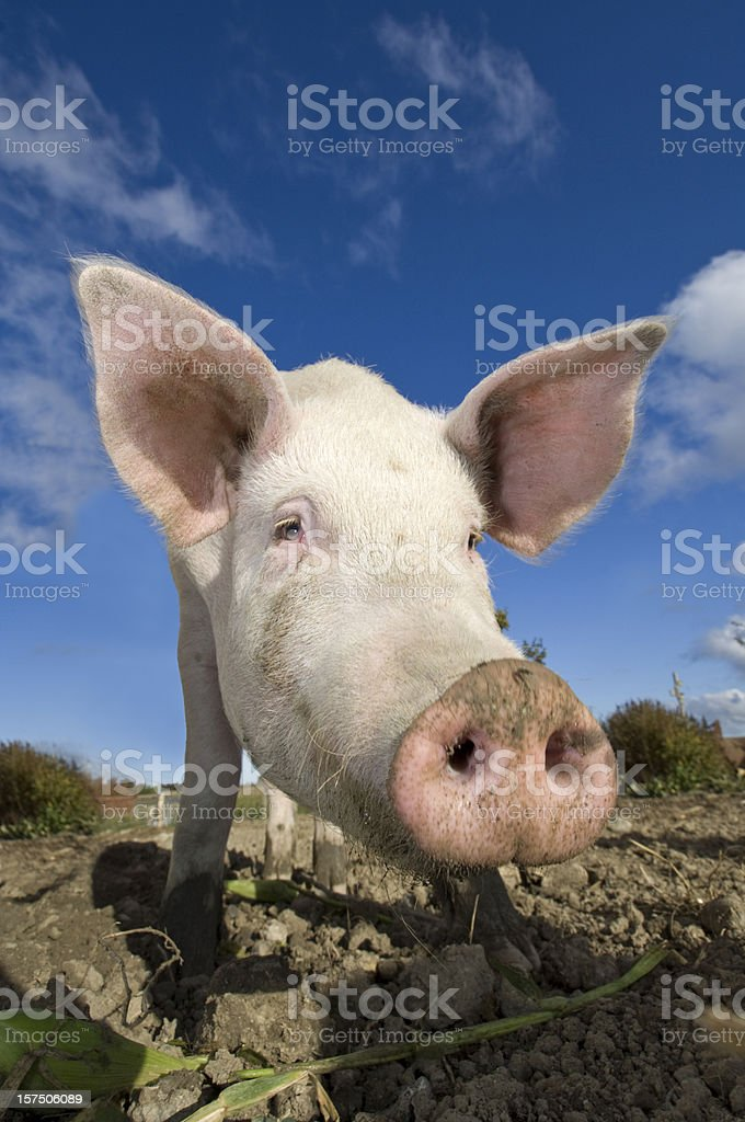 Outdoor Reared Pig stock photo