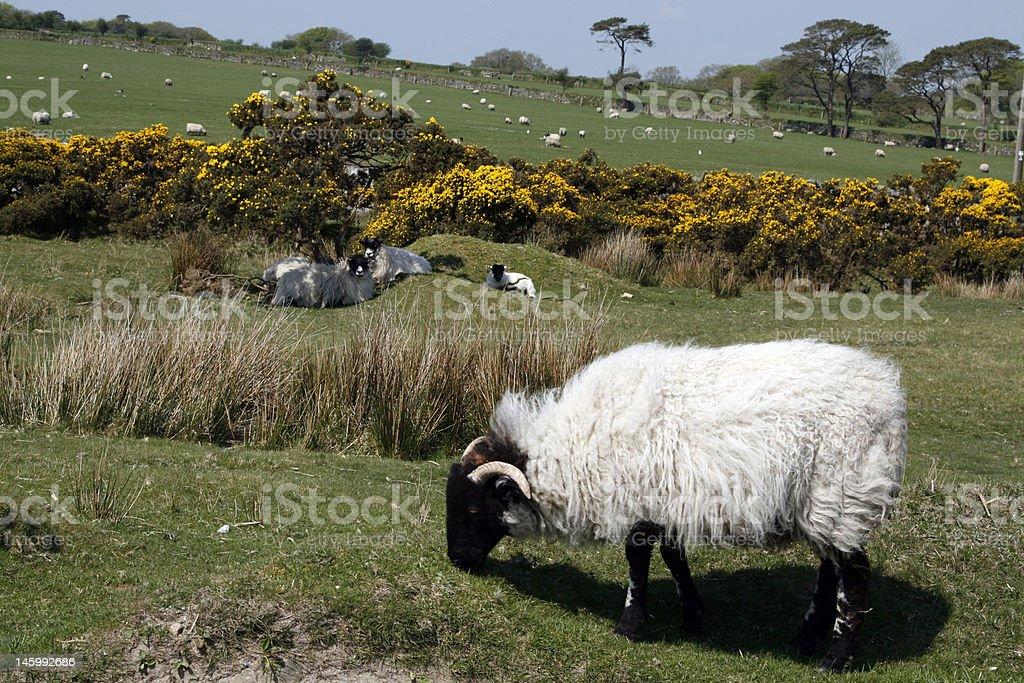 Превосходит по овчина. Стоковые фото Стоковая фотография