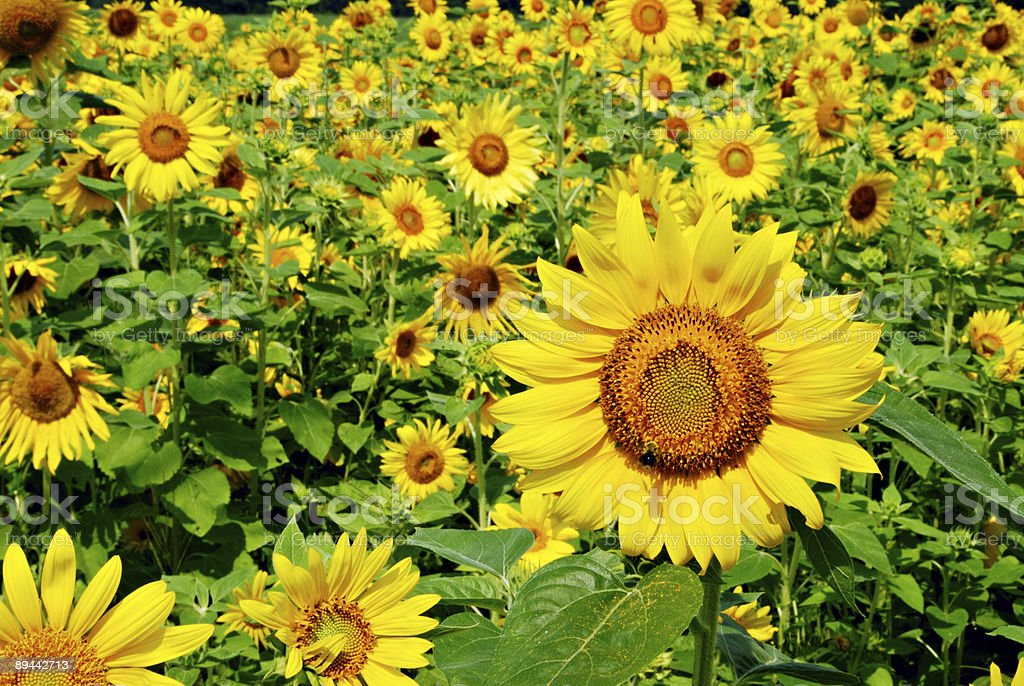 Outstanding Sunflower royalty-free stock photo