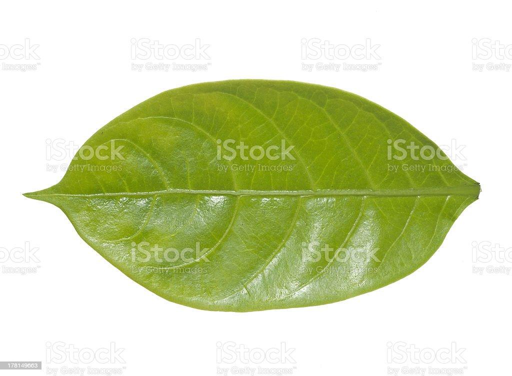 Oval-shaped leaf stock photo