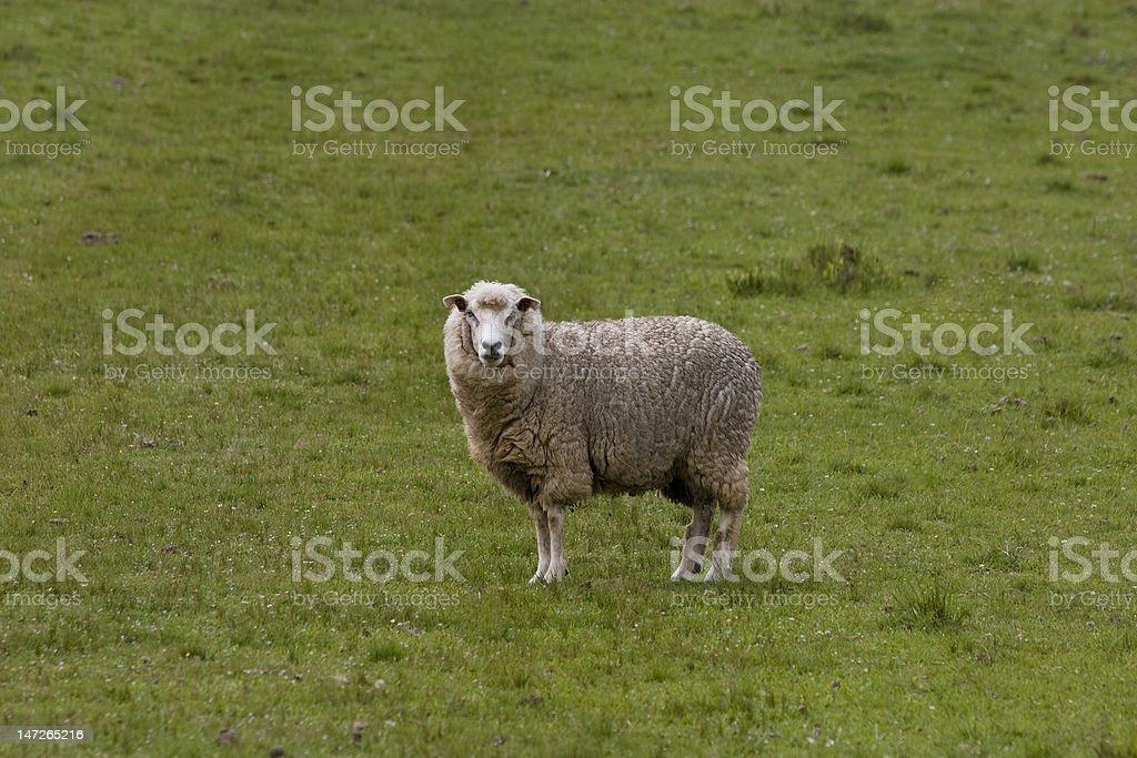 Ovelha stock photo
