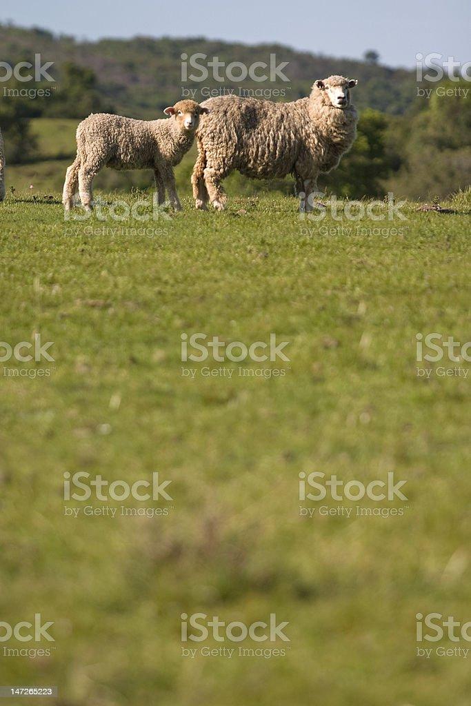 Ovelhas stock photo