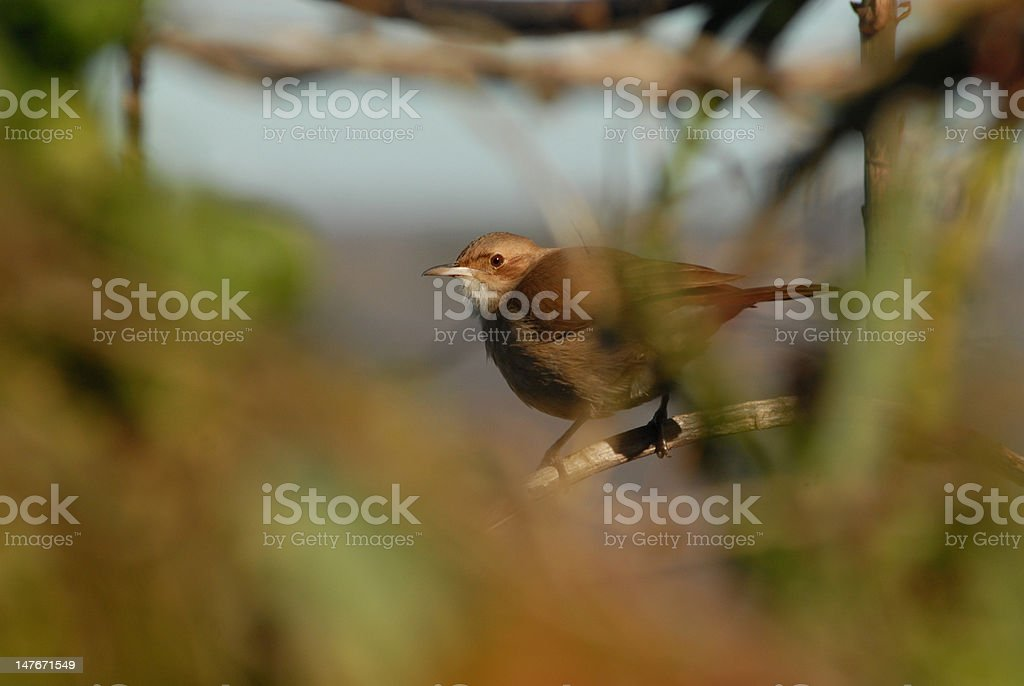 ovenbird stock photo