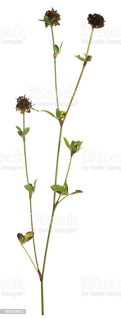 Overblown clover isolated on white background stock photo