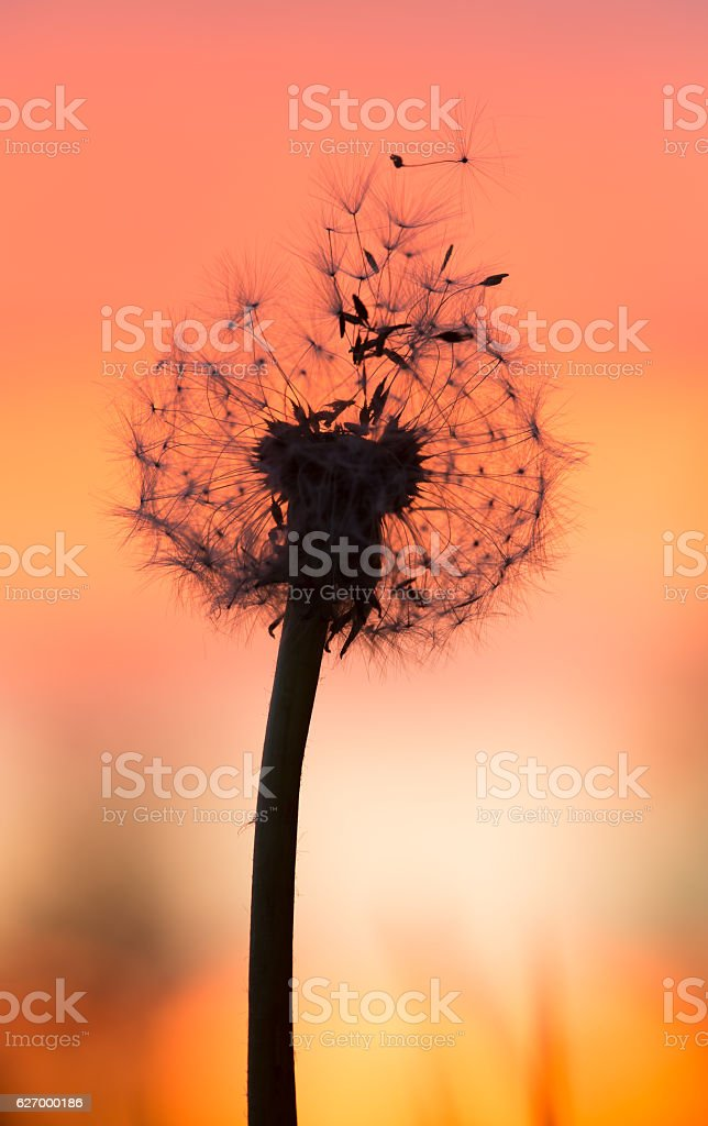 Overblown dandelion with seeds in sunset stock photo