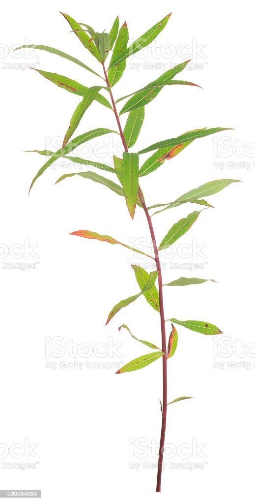 Overblown fireweed, Chamerion angustifolium isolated on white background stock photo