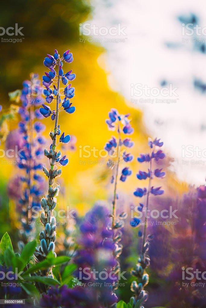 Overblown Wild Flowers Lupine, Lupinus In Summer Field Meadow stock photo