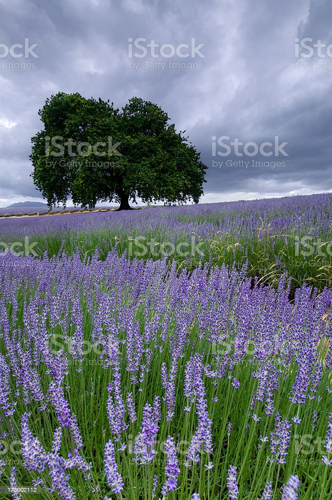 Overcast lavender field royalty-free stock photo