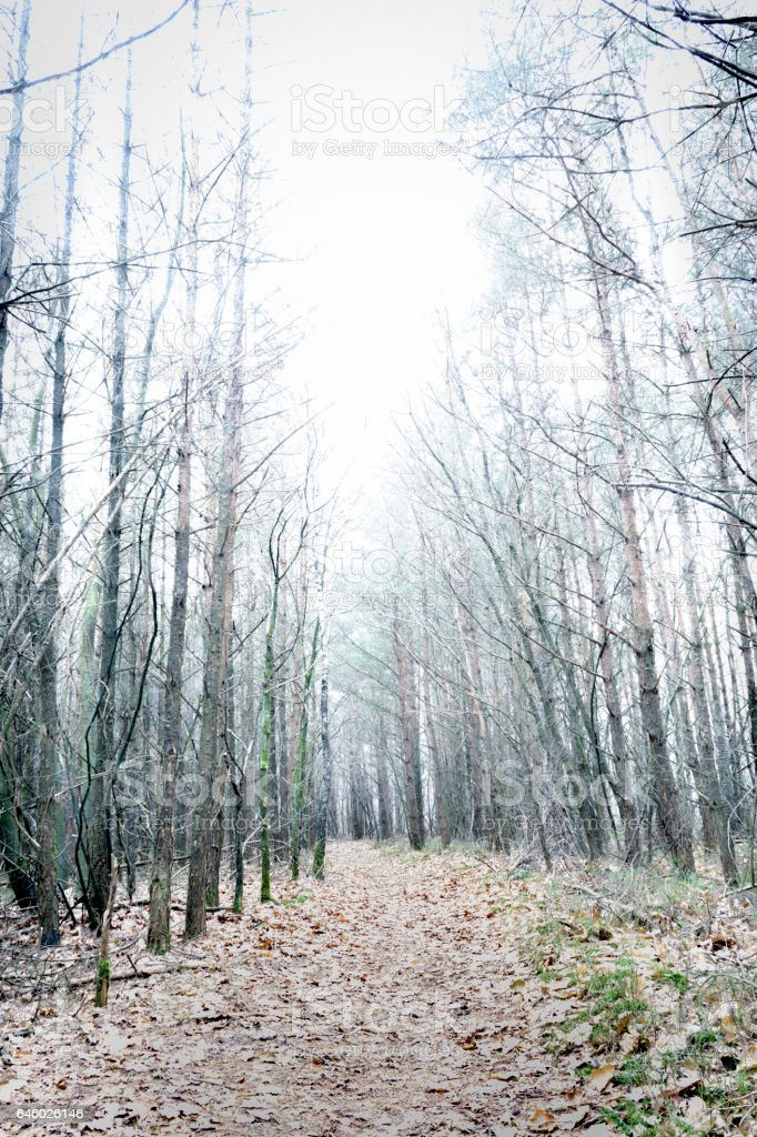 Overexposed bare pine forest giving mysterious landscape stock photo