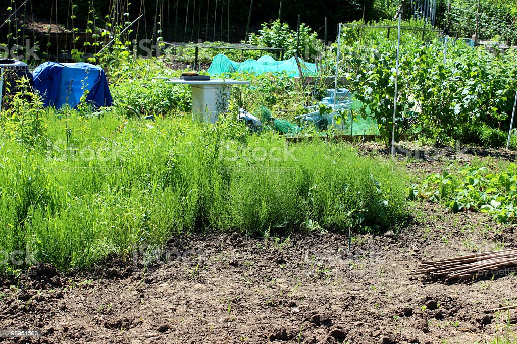 Overgrown allotment vegetable garden with weeds, horsetail plants, neglected garden stock photo