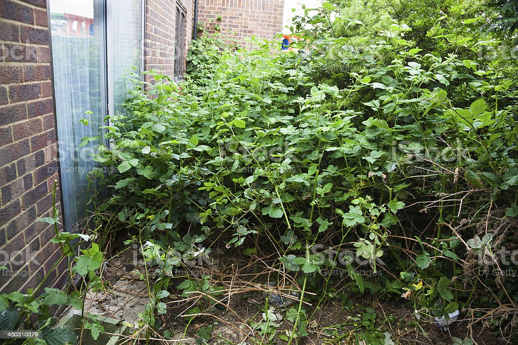 overgrown suburban garden with weeds and briars stock photo