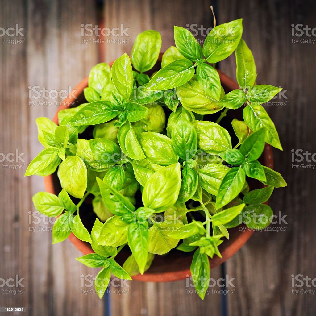 Overhead view of basil in terra cotta pot on wooden table stock photo