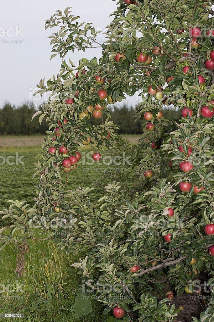 Over-laden Fruit Tree stock photo
