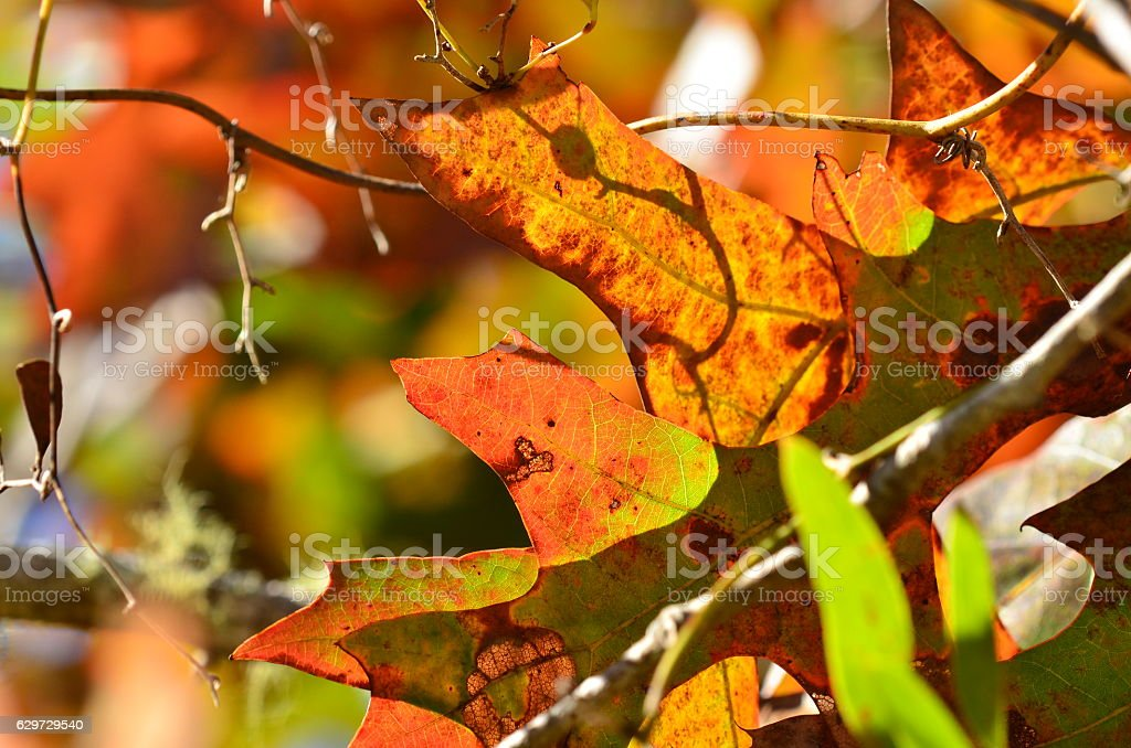 Overlapping backlit oak leaves with fall colors and shadows stock photo