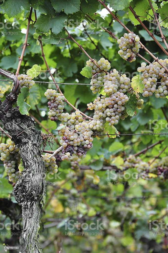 Overripe grapes on old vines stock photo