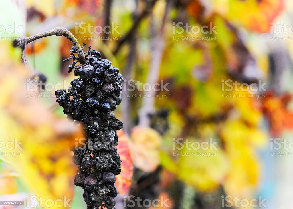 Overripe grapes to berry selection stock photo