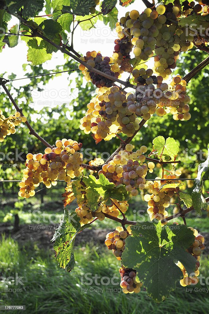 Overripe Riesling grapes on old vines stock photo
