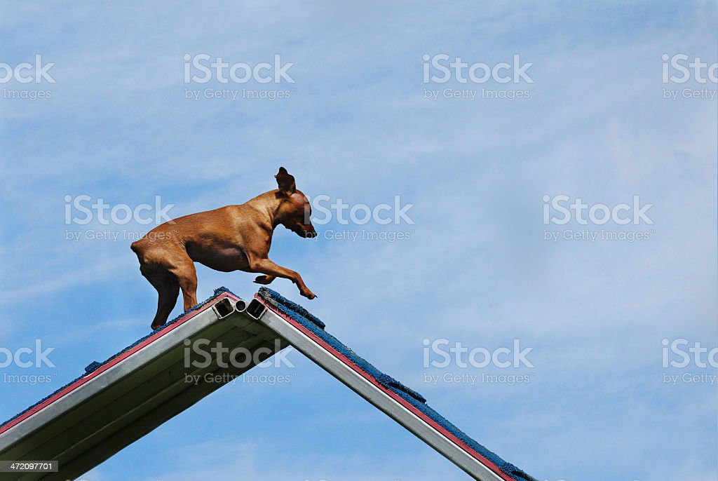 Over-the-Top Minpin stock photo