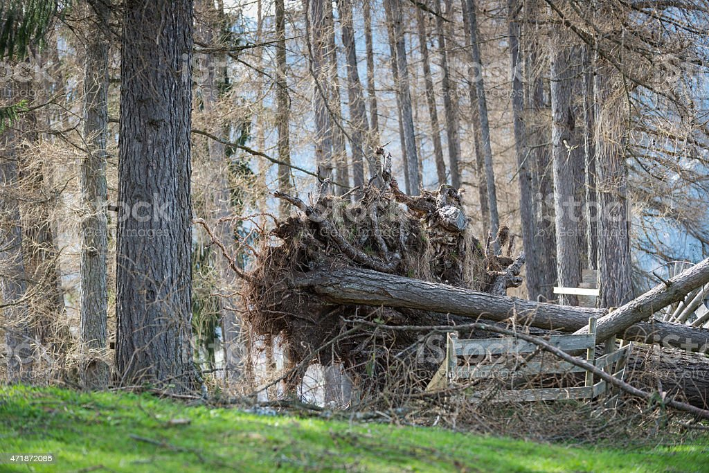 overthrown tree with roots out because of thunder storm weather stock photo
