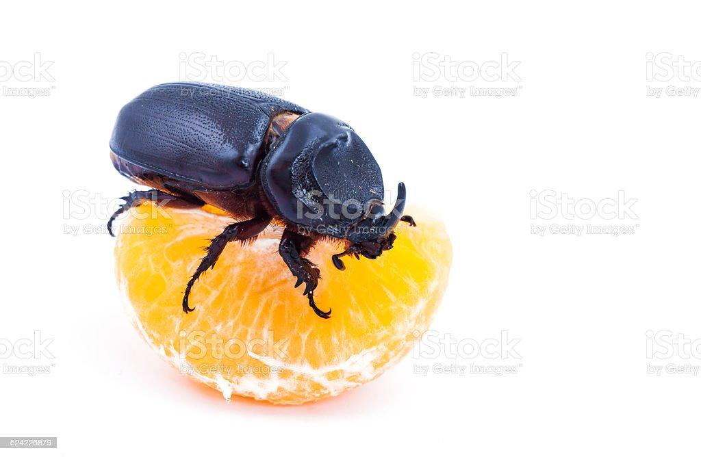 Overturn pose of Coconut rhinoceros beetle stock photo