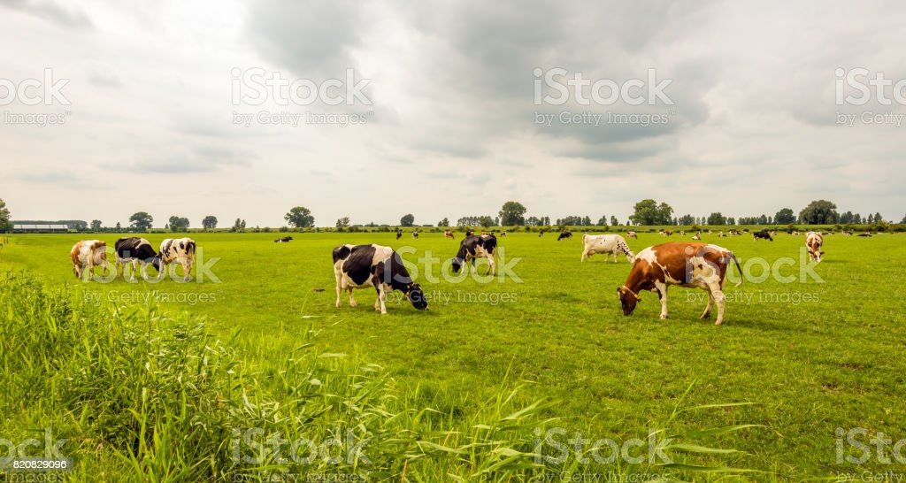 Overview of black and red spotted cows grazing in the Dutch meadow stock photo