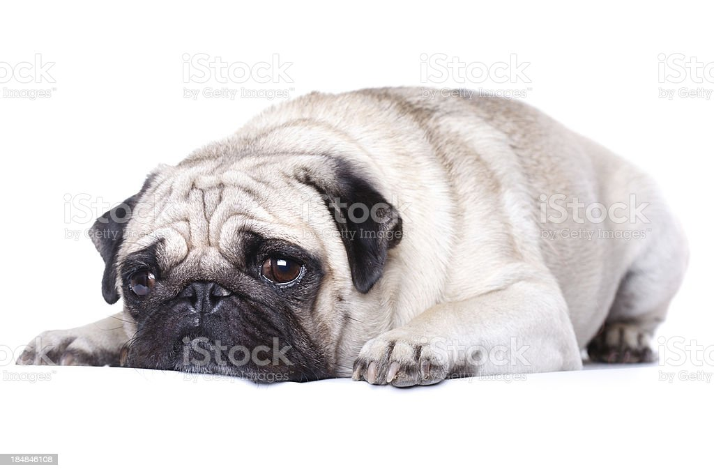 Overweight dog royalty-free stock photo