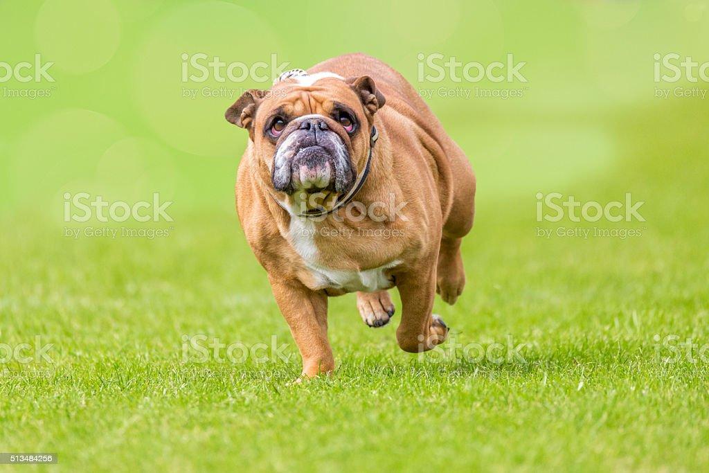 overweight running bulldog stock photo
