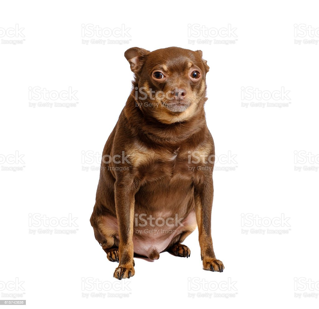 Overweight russian toy dog sitting stock photo