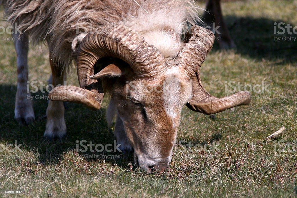Ovis aries (ram) royalty-free stock photo
