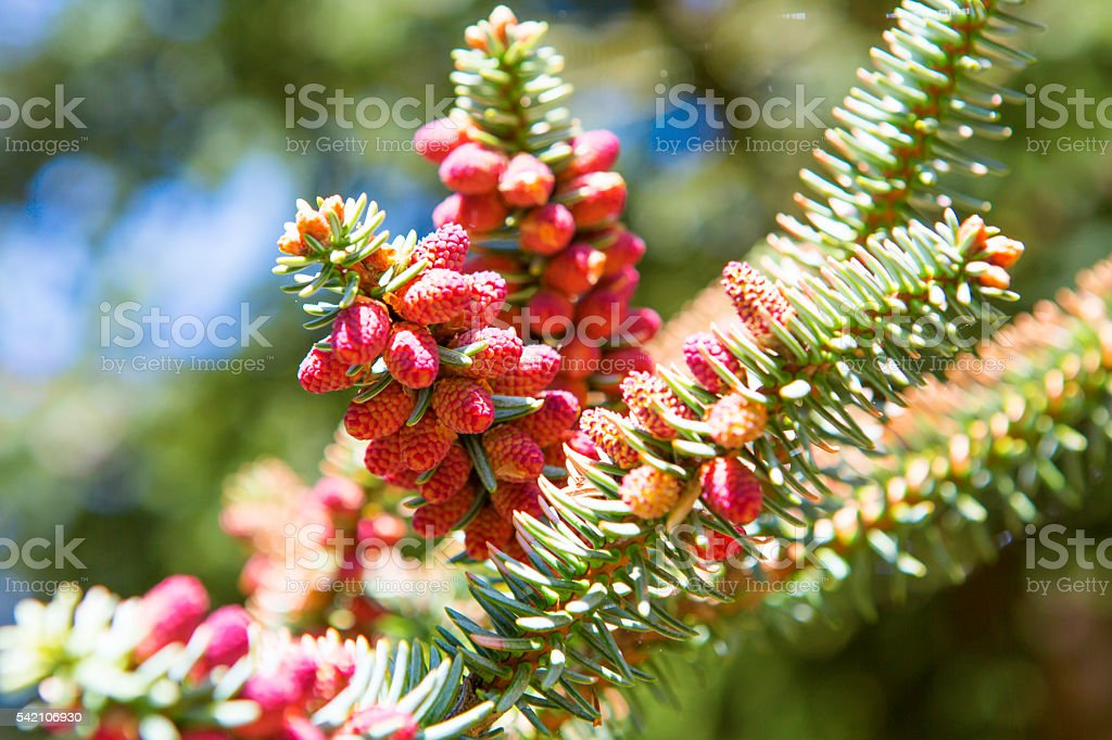 Ovulate cones (strobiles) of larch tree, spring stock photo