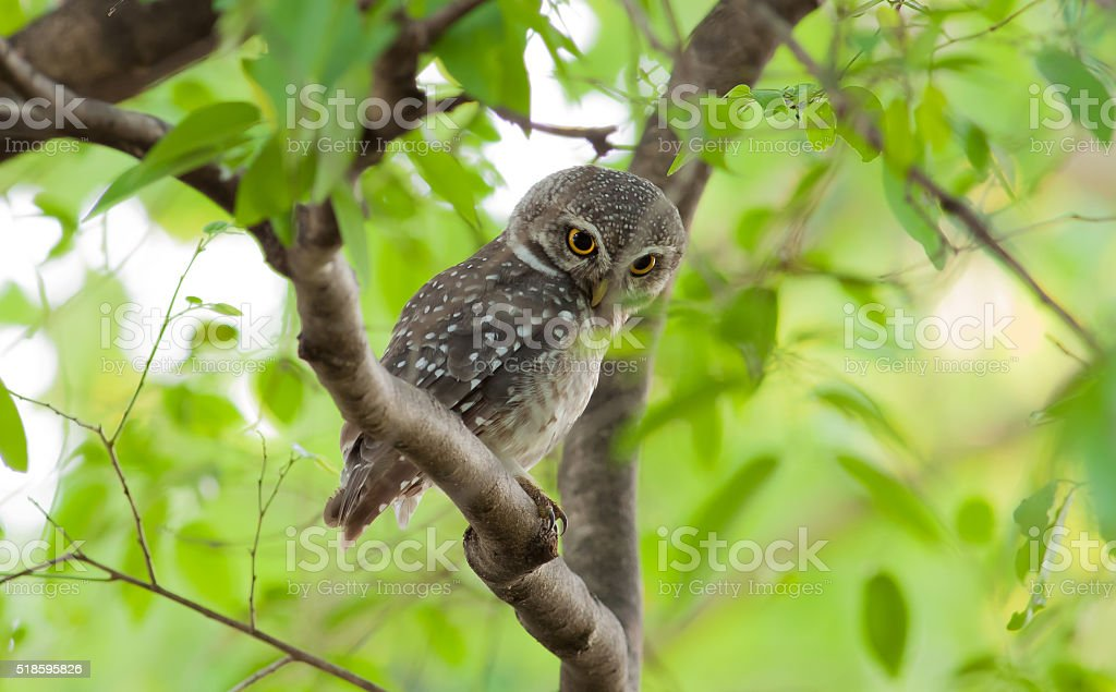 Owl bird on tree royalty-free stock photo