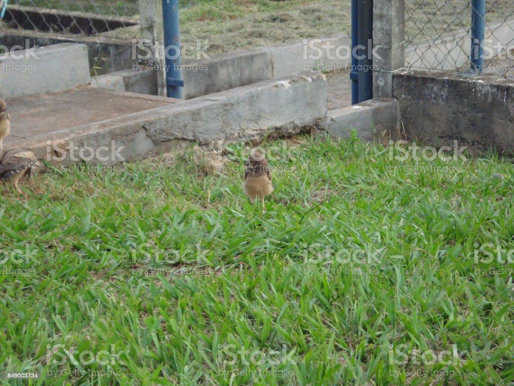 Owl, burrowing owl, howdy owl, billy owl, ground owl, long-legged owl, prarie dog owl, prairie owl or goatsuckers stock photo