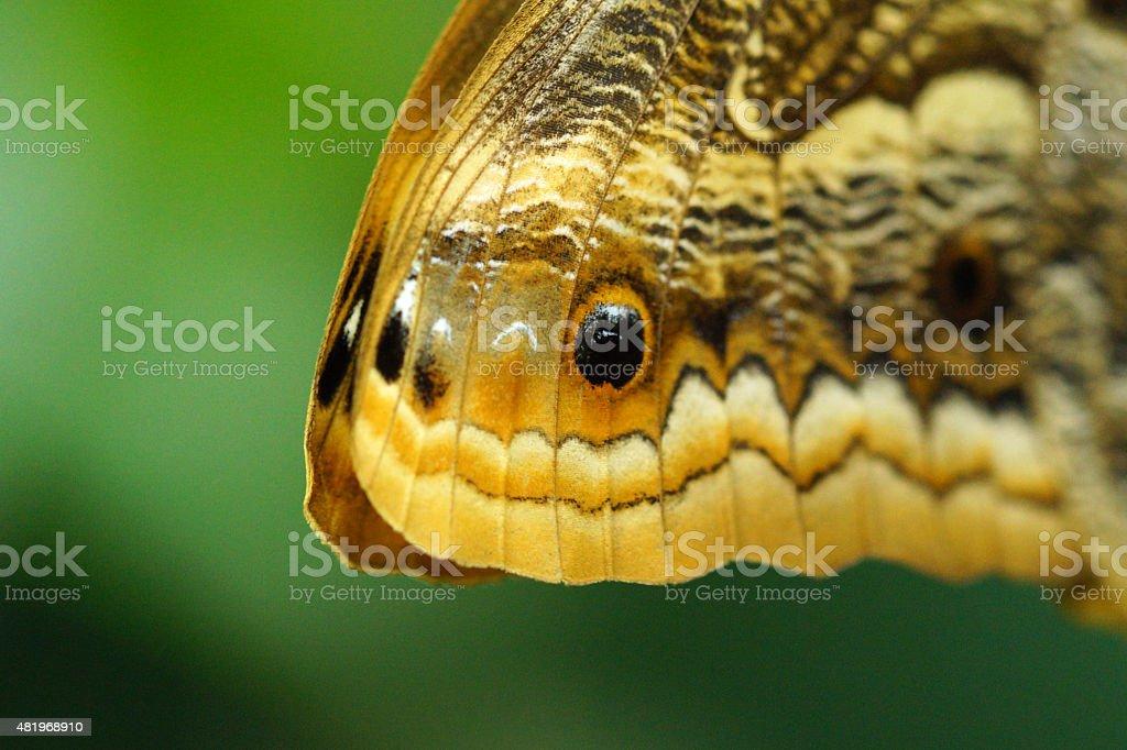 Owl butterfly - snake mimic stock photo