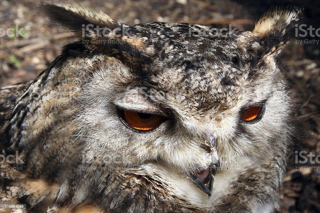 Owl Closeup stock photo