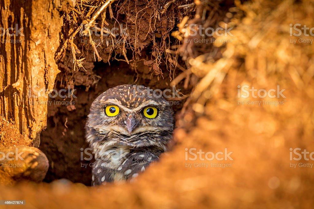 Owl - Coruja stock photo