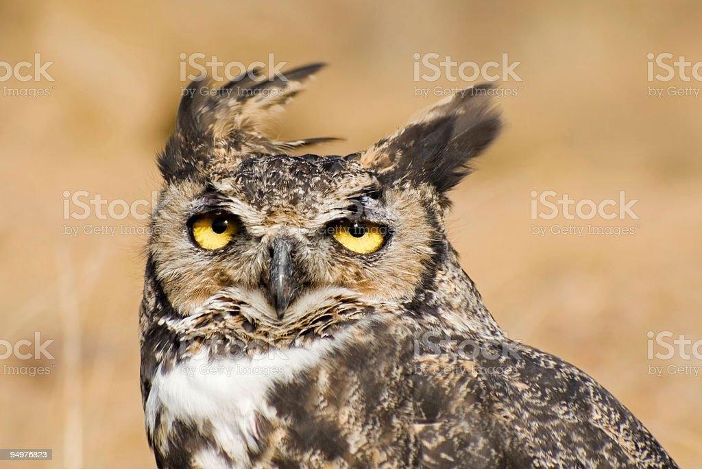 Owl Ears Blowing in the Wind