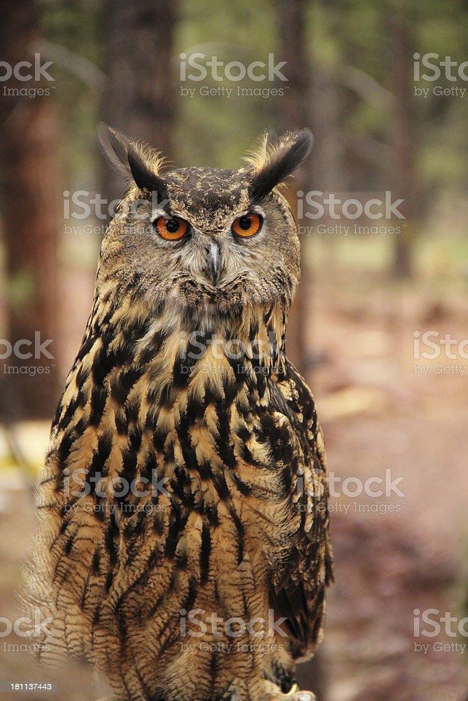 Owl Eurasian Eagle Bubo royalty-free stock photo