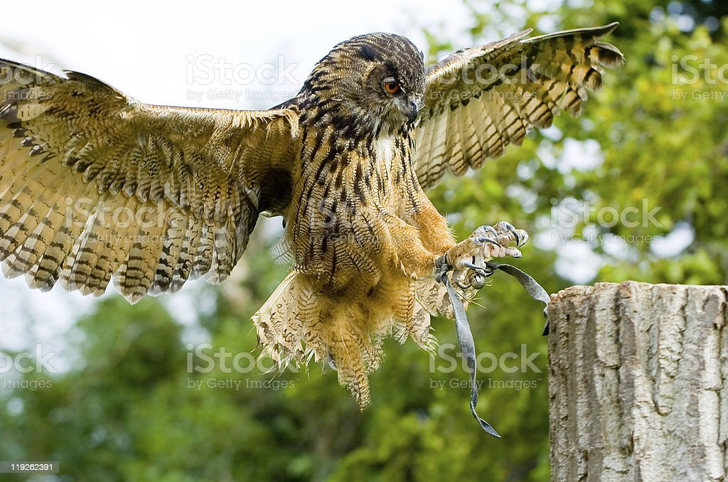 owl flew to a tree trunk stock photo