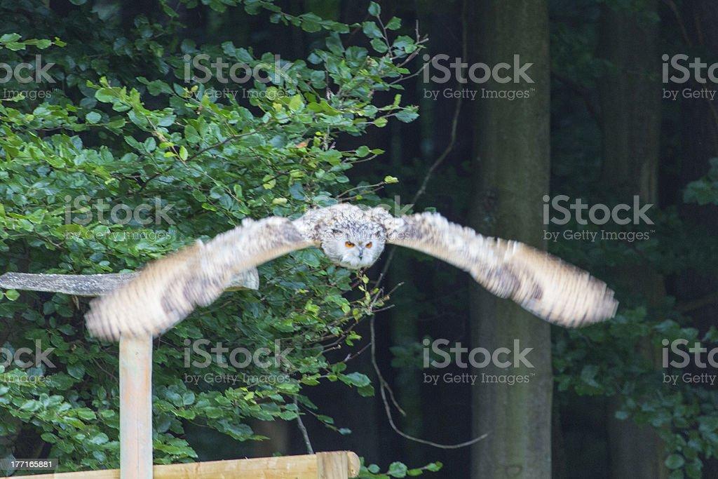 Owl flying royalty-free stock photo
