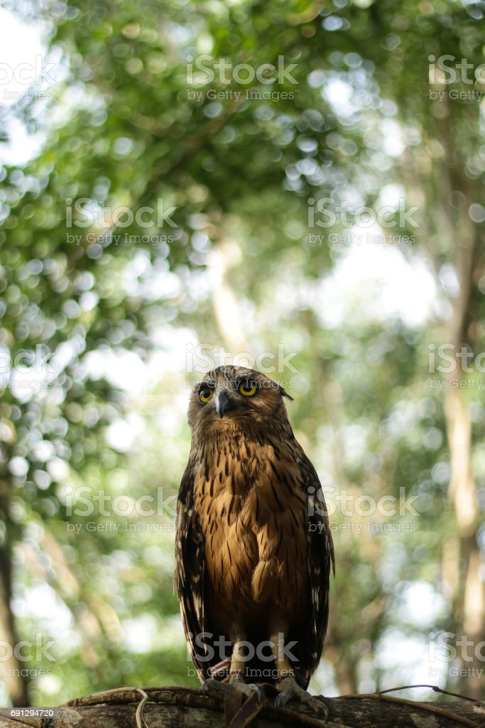 owl getting ready hunting stock photo