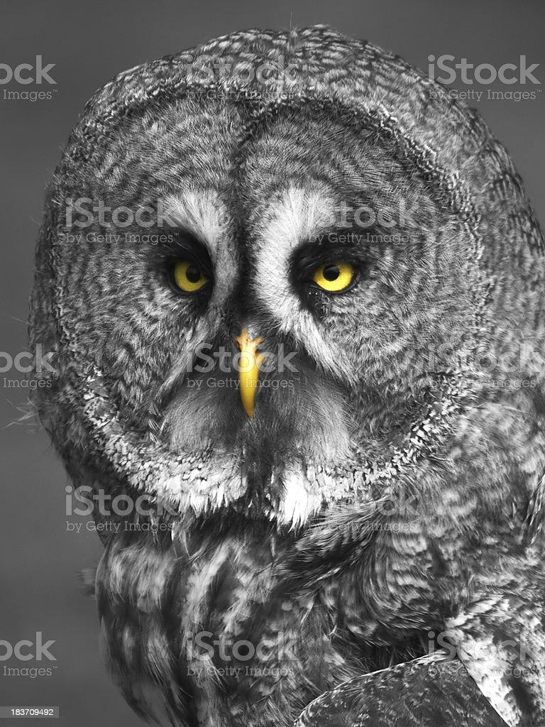 Owl - glaring yellow eyes royalty-free stock photo