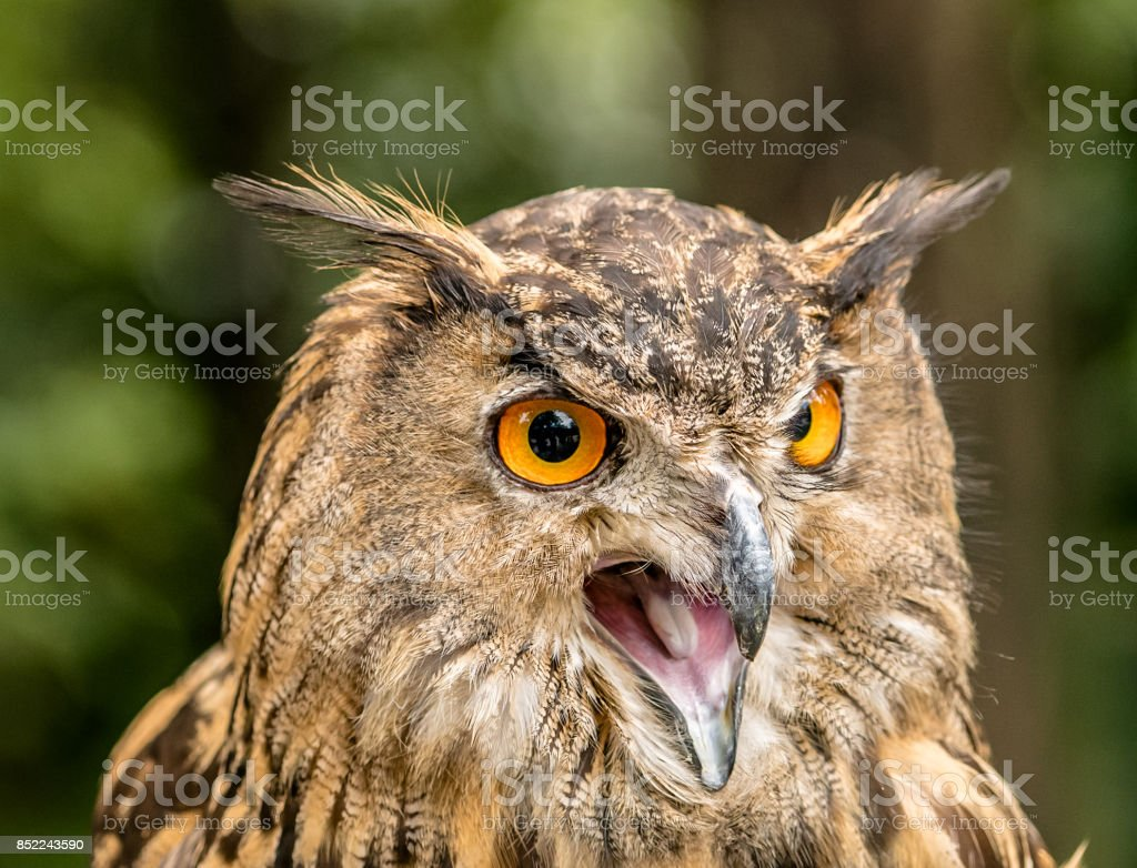 owl hooting stock photo