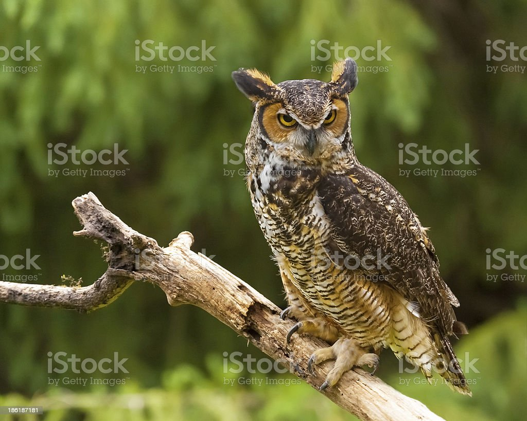 Owl in Nature stock photo