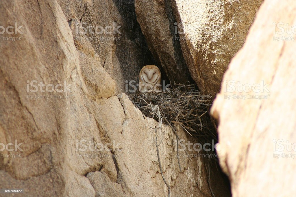 Owl in nest royalty-free stock photo